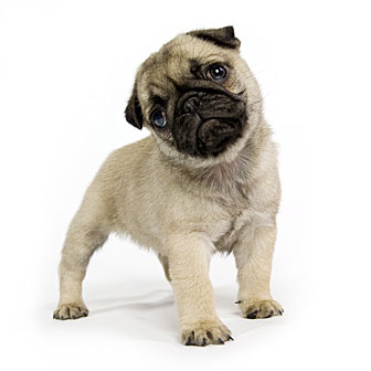 Akc Registered Pugs Puppies For Quality North Dakota Breeders Index